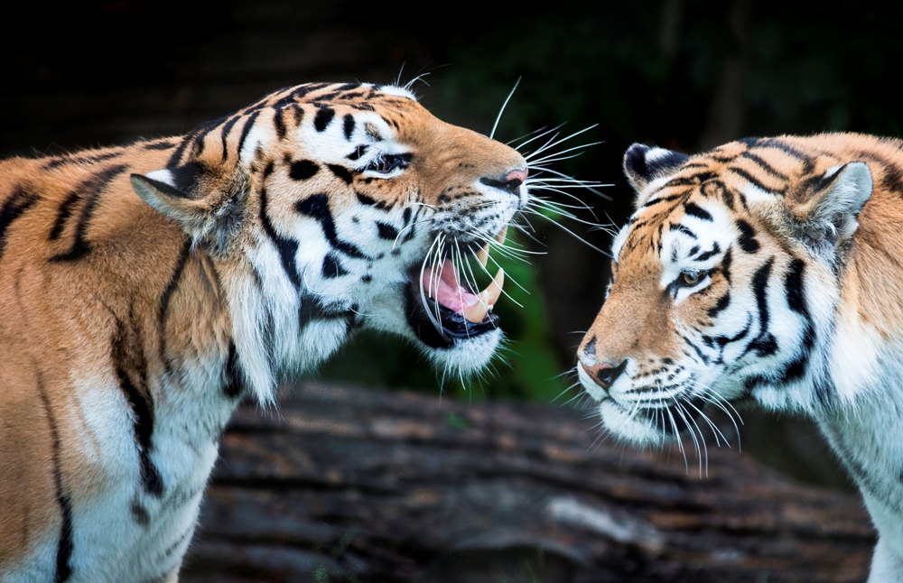 Big cat adventure at Marwell Zoo