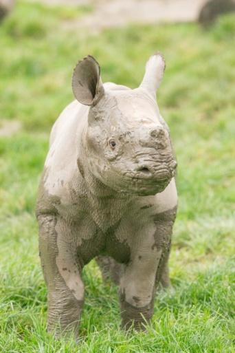 The first black rhino to be born at the park.